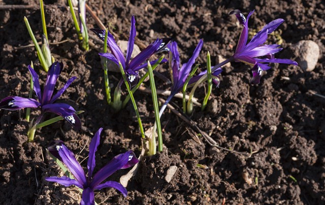 Iris reticulata 'Blue Note'