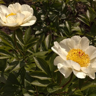 Paeonia Yellow Quad
