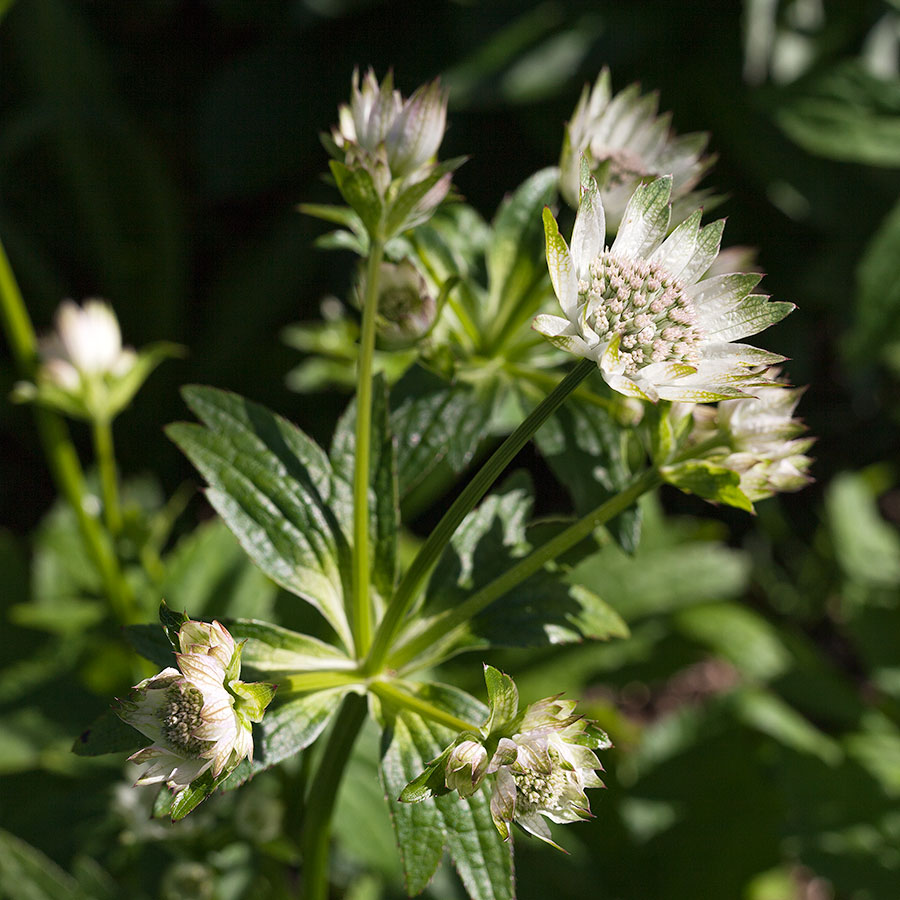 Astrantia 'Star of Billion'