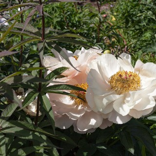 Paeonia hybrid seedling - my name 'Deliciously Vulgar'