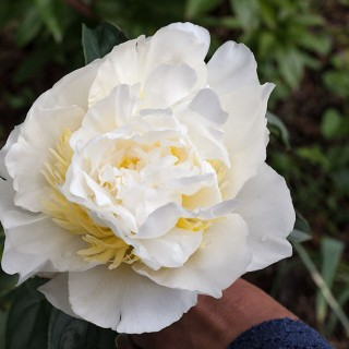 Paeonia lactiflora 'Honey Gold' - luktpion