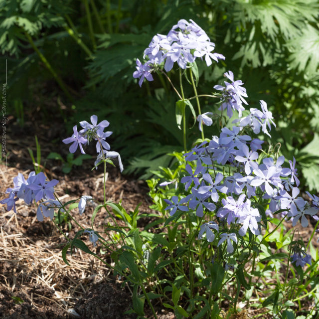Sockans, Phlox divaricatus 'Clouds of Perfume'