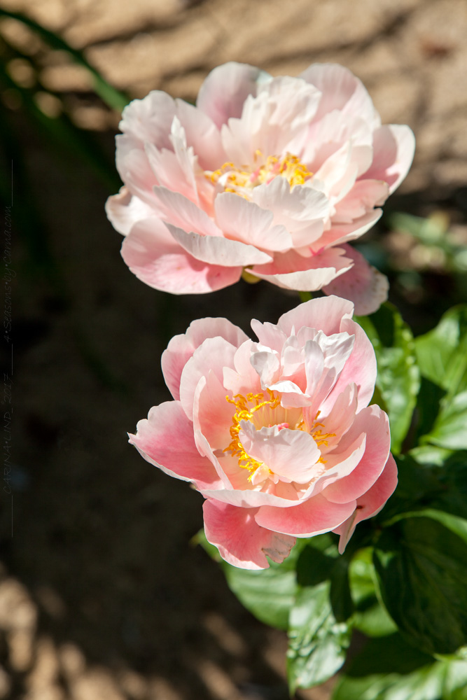 Paeonia hybr. 'Mary Gretchen'