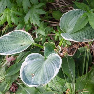 Hosta 'Northern Exposure'