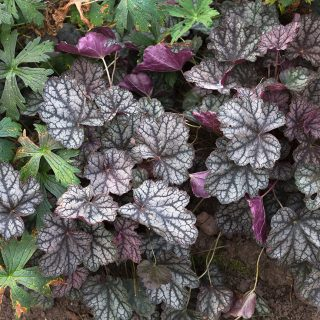Heuchera 'Silver Scroll' - alunrot