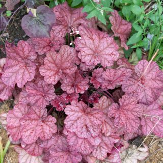 Heuchera 'Berry Smoothie - alunrot