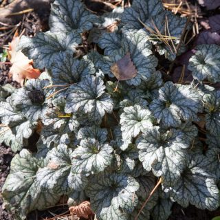 Heuchera 'Rave On' - alunrot