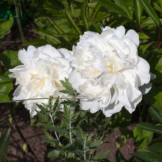 Paeonia lactiflora - unknown white