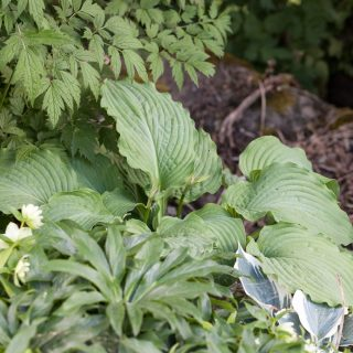 Hosta 'Piecrust Power'