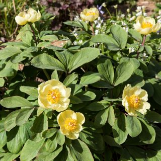 Paeonia mlokosewitchii- svavelpion