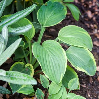 Hosta 'Abiquaa Moonbeam'