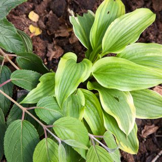 Hosta 'One Last Dance'