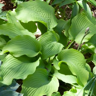 Hosta 'Jimmy Crack Corn'