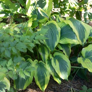 Large Hosta 'Satisfaction'