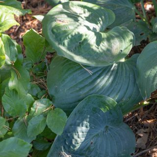 Hosta 'Nancy Gill'