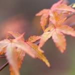 Acer micranthum - småblommig guldlönn höstfärg
