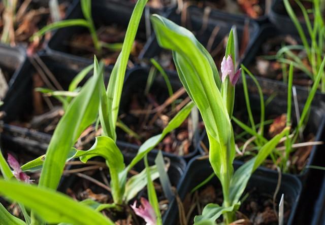 Roscoea scillifolia Pink, perennsådd