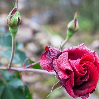 Rosor - mörkröd Rosa 'That's Jazz'