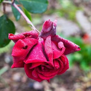 Rosa 'That's Jazz' - klängros med mörkt röda blommor