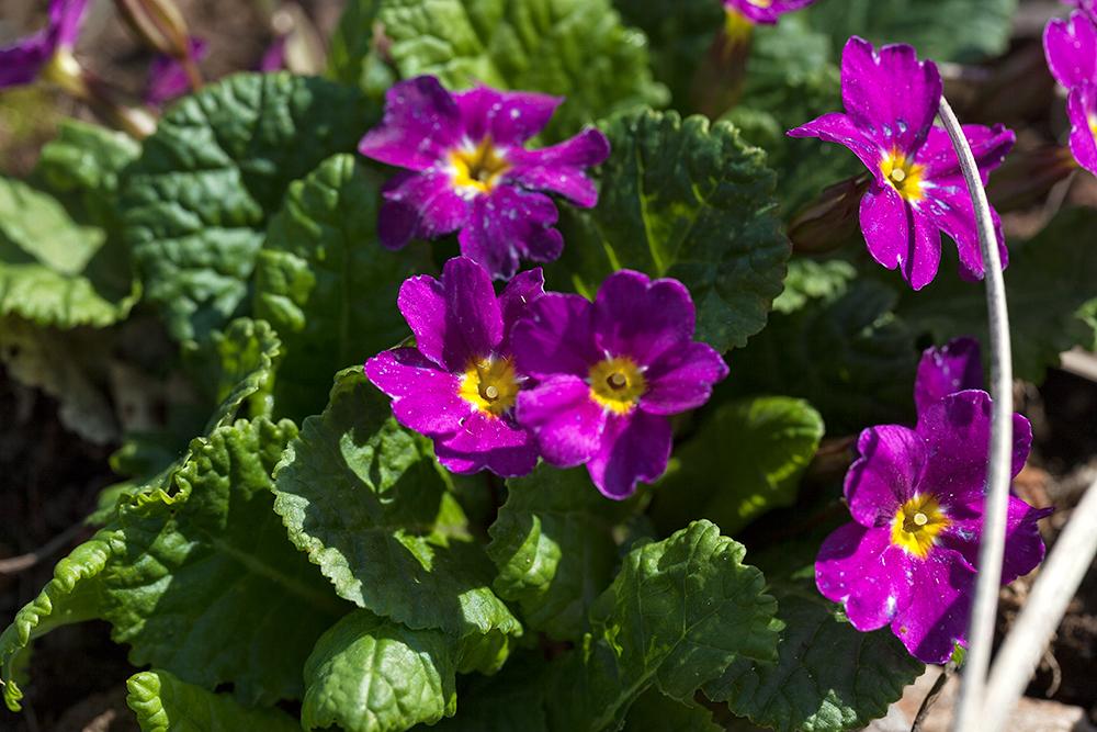 Primula vulgaris, namnsort