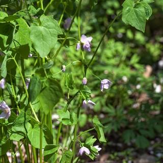 Ranzania japonica