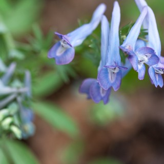 Corydalis pachycentra