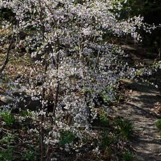 Maj - Körsbärsblom, Prunus 'Hally Jolivette'