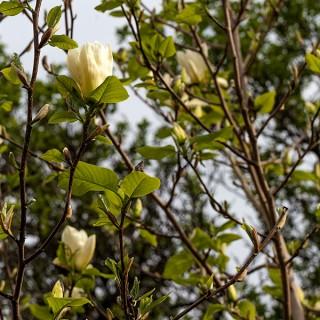 Magnolia 'Elisabeth'