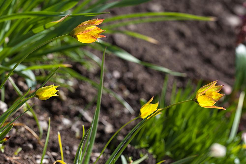 Tulipa orphanidea v. flava