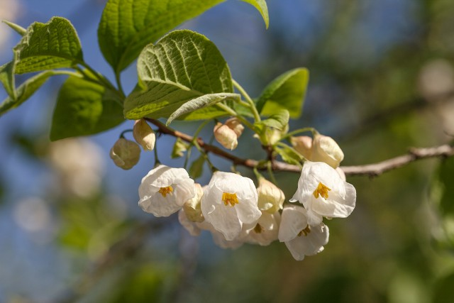 Halesia monticola - snödroppsträd