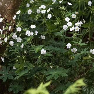 Geranium phaeum 'Album' - brunnäva vit