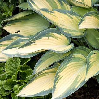 Medium Hosta 'June'