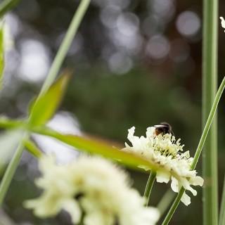Cephalaria gigantea, jättevädd
