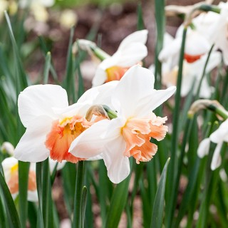 Narcissus x incomparabilis 'Precocious' - narciss