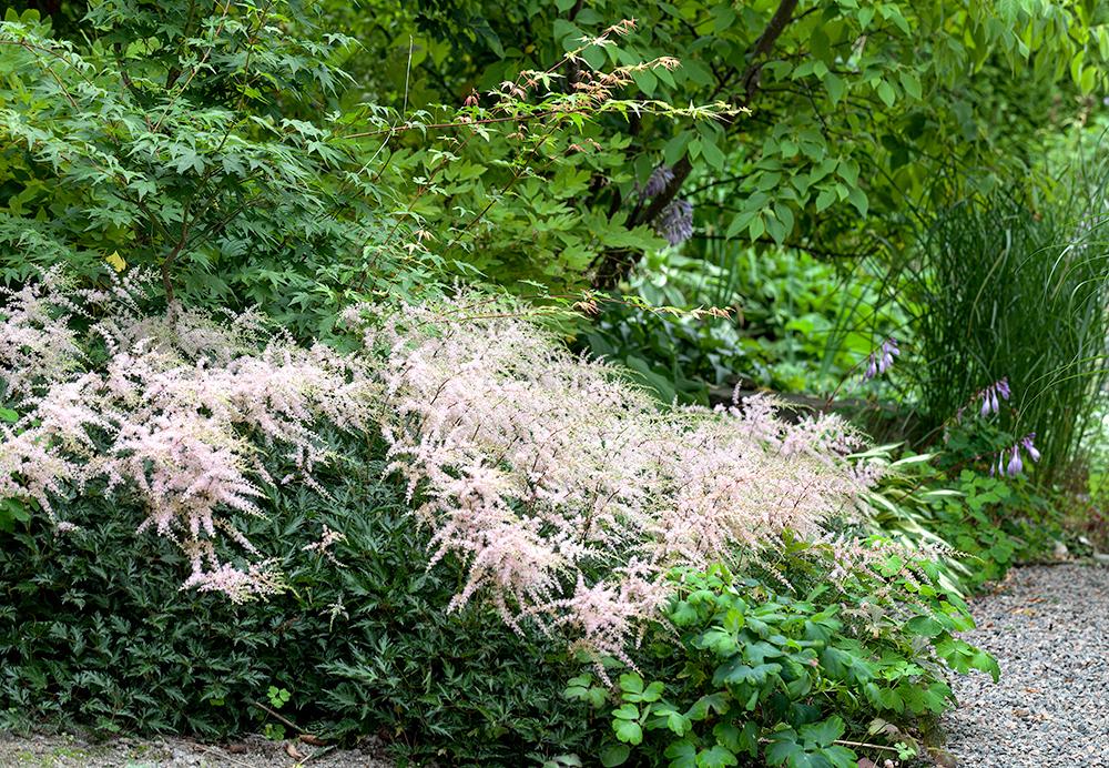 Astilbe Simplicifolia-grp 'Sprite'