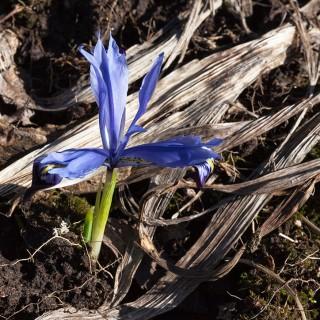 Iris Reticulata-grp 'Halkis'