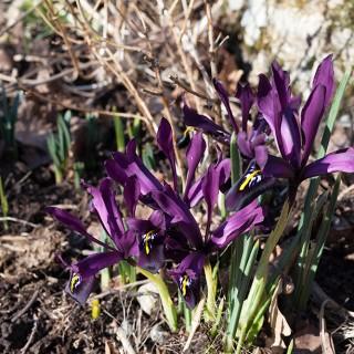 Iris-histrioides-George