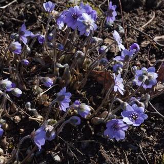 Hepatica transsilvanica 'Buis' - ungersk blåsippa