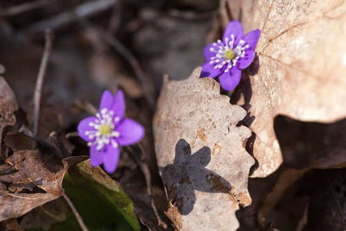 Hepatica nobilis - blåsippa variationen är stor och de här är långt mer lilablå än vanligt
