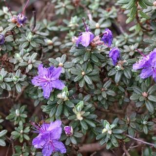 Rhododendron Lapponicum-grp 'Blue Steel'