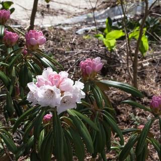 Rhododendron yakushimanum 'Makiyak'??