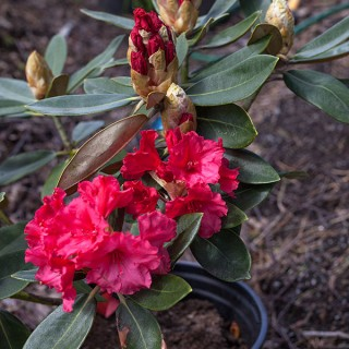 Rhododendron Yakushimanum-grp 'Vollblut'
