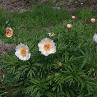 Paeonia hybrid 'Nosegay' - hybridpion