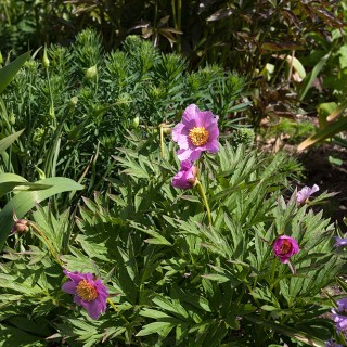 Paeonia veitchii - rosenpion