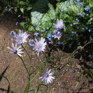 Scorzonera purpurea - purpurfibbla