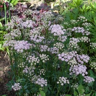 Apiaceae - Pimpinella major - stor bockrot