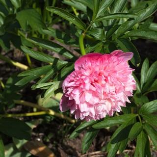 Paeonia x festiva 'Mutabilis Plena' - rosa bondpion