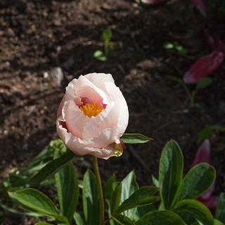 Paeonia hybr. 'Athena' - hybridpion, Saunders