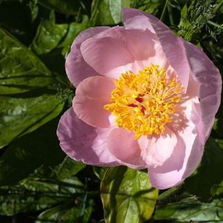 Paeonia hybrid 'Inger Molin' - hybridpion
