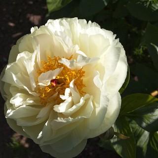 Paeonia hybr. 'Lemon Chiffon' - hybridpion